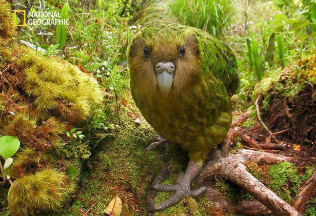 کاکاپو تنها طوطی جهان،که نمیتواند پرواز کند